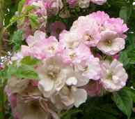 'Apple Blossom'
