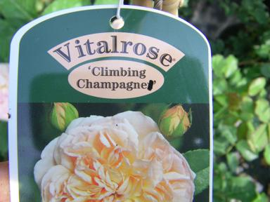 'Climbing Champagner'