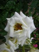 'Dr. Martin Luther Rose'