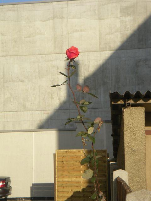 Rote Rose in Dresden