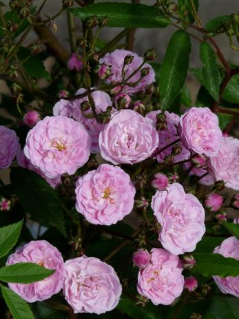 'Heavenly Pink'
