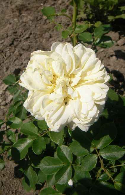 'Kronprinsesse Mary'