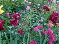 rosen in mischbeeten rabatten hecken rosen und lavendel. Black Bedroom Furniture Sets. Home Design Ideas