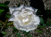 'Madame Alfred Carriere'