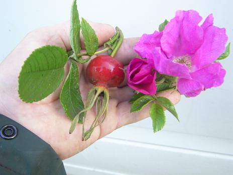 rosa rugosa sorten rosa rugosa 39 foxi 39 duftende. Black Bedroom Furniture Sets. Home Design Ideas