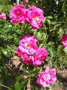 Rosa x jacksonii Willm.
