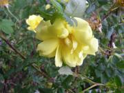 'Scotch Yellow'