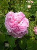 'Cabbage Rose'